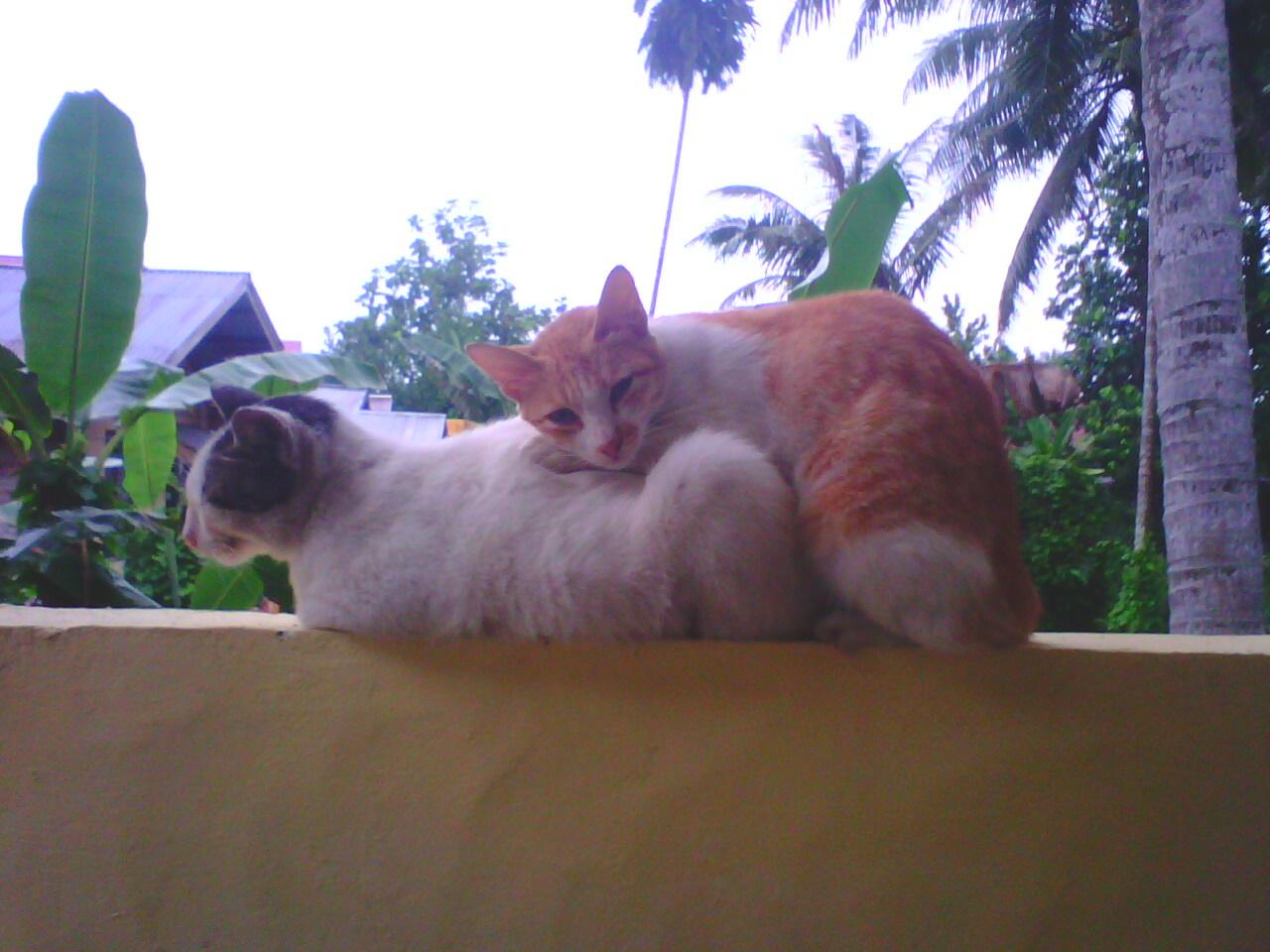 Cinta Sepasang Kucing Orange Float